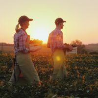 Two farmers man and woman are walking along the field, carrying boxes with fresh vegetables. Organic farming and family business concept